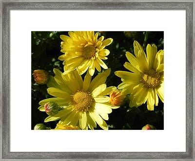 Yellow Daisies Framed Print by John Parry