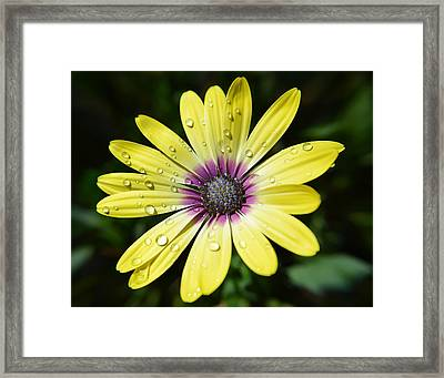 Yellow Daisy Framed Print by Aimee L Maher Photography and Art Visit ALMGallerydotcom