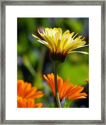 Yellow Daisy Framed Print by Amy Fose