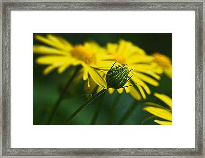 Yellow Daisy Bud Framed Print