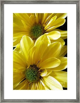 Yellow Daisy Duet Framed Print by Patricia Strand