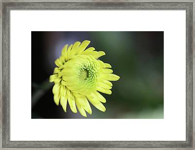 Yellow Daisy Flower Framed Print
