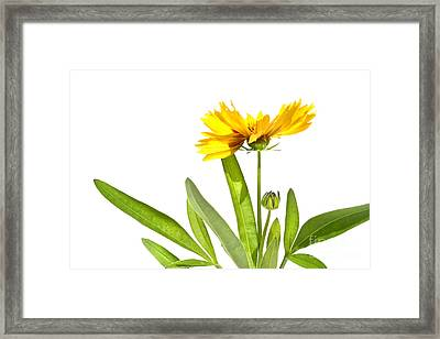 Yellow Daisy Isolated Against White Framed Print