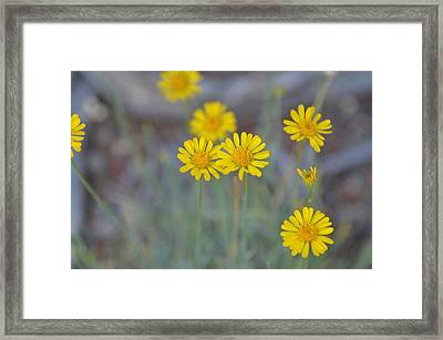 Yellow Daisy Wildflowers Framed Print