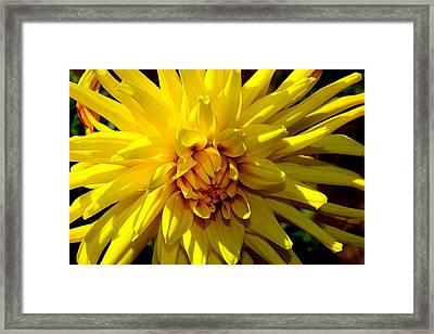 Yellow Daliha Framed Print by Patrick  Short