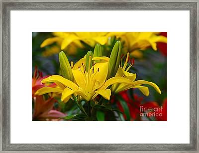 Framed Print featuring the photograph Yellow Day Lily 20120614_55a by Tina Hopkins