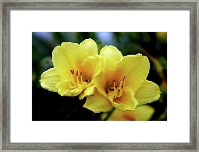 Yellow Daylilly 0204 H_2 Framed Print