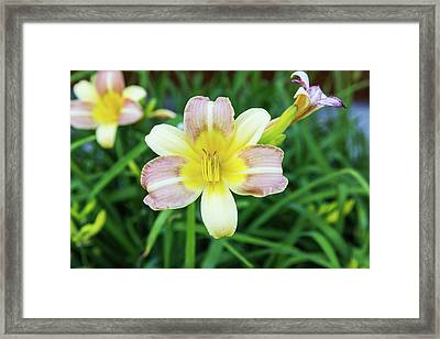 Yellow Daylily Framed Print