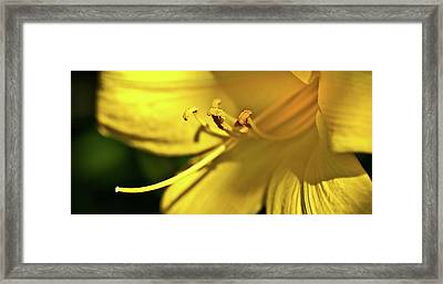 Yellow Daylily Framed Print