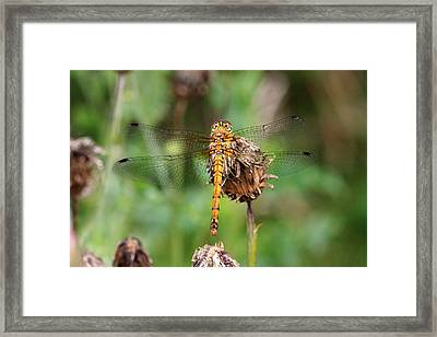 yellow Dragonfly Framed Print by Pierre Leclerc Photography