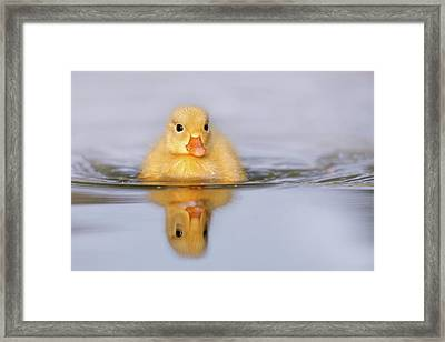 Yellow Duckling In Blue Water Framed Print by Roeselien Raimond