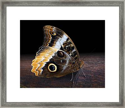 Yellow-edged Giant Owl Butterfly Framed Print