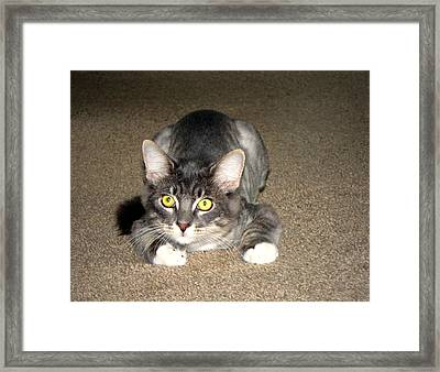 Yellow Eyed Main Coon Cat Framed Print