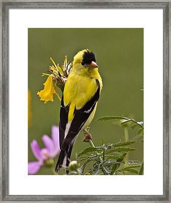 Yellow Finch - Color Impact - Artist Cris Hayes Framed Print