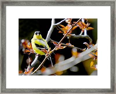 Yellow Finch Framed Print by Pat Carosone