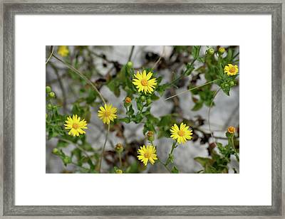 Yellow Florida Wildflowers Framed Print by Tamra Lockard