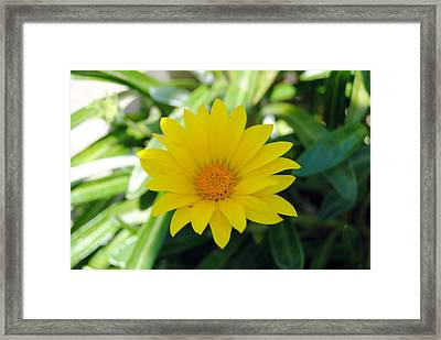 Yellow Flower Framed Print by Isam Awad