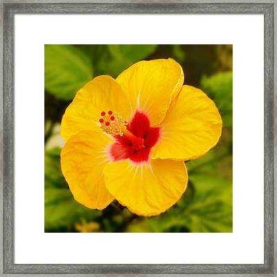 Yellow Hibiscus Framed Print by Mike McGlothlen
