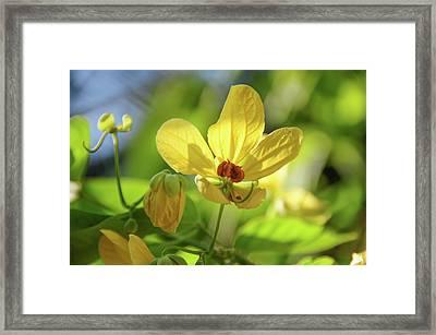 Yellow Flower Of Cassia Glauca Framed Print by Jenny Rainbow