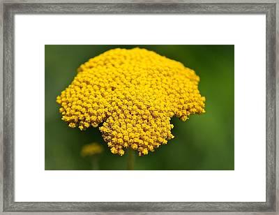 Yellow Flower Framed Print by Robert Joseph