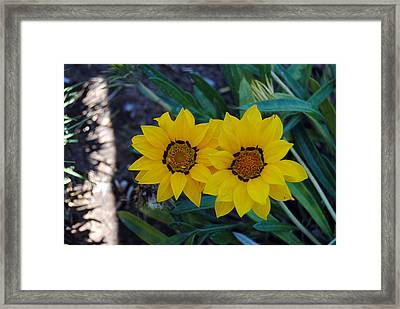 Gazania Rigens - Treasure Flower Framed Print by Isam Awad