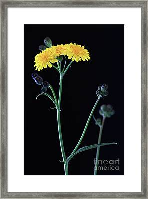 Yellow Flowers Framed Print by Masako Metz