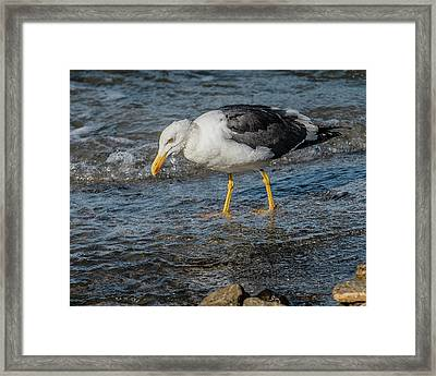 Yellow-footed Gull In Water Framed Print