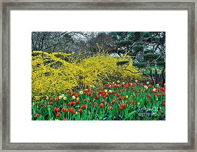 Framed Print featuring the photograph Yellow Forsythia by Diana Mary Sharpton