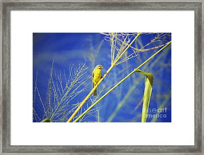 Yellow Fronted Canary Framed Print by Bob Abraham - Printscapes