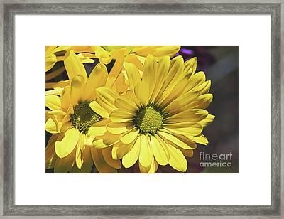 Yellow Gerbera Framed Print