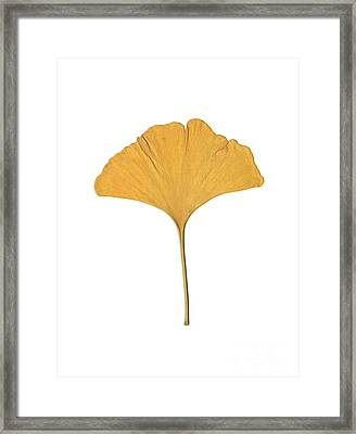 Yellow Ginkgo Leaf Framed Print by Renee Trenholm