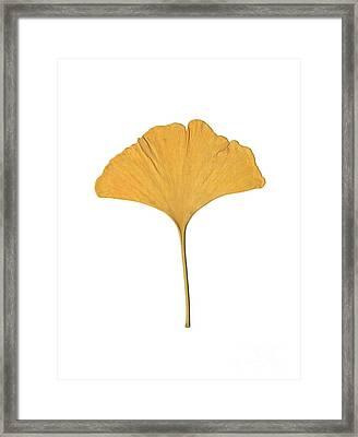 Yellow Ginkgo Leaf Framed Print