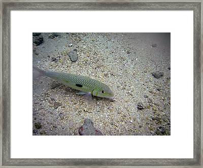 Yellow Goatfish Framed Print by Michael Peychich
