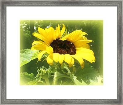 Yellow Sunflower Haze Framed Print