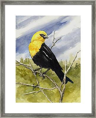 Yellow-headed Blackbird Framed Print by Sam Sidders