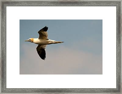 Yellow Headed Gull In Flight Framed Print