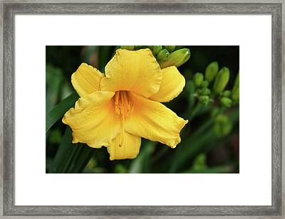 Yellow Hibiscus Flower Framed Print by Tony Grider