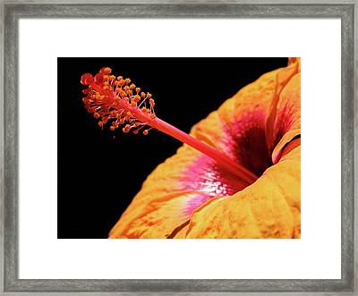 Framed Print featuring the photograph Yellow Hibiscus by Marie Hicks