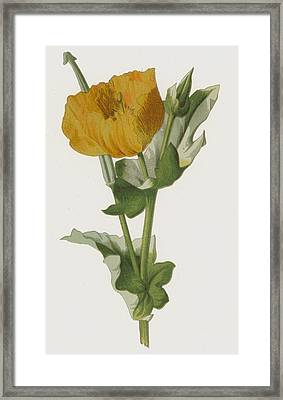 Yellow Horned Poppy Framed Print by Frederick Edward Hulme