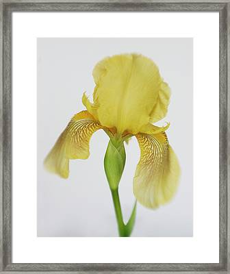 Framed Print featuring the photograph Yellow Iris A Symbol Of Passion by David and Carol Kelly