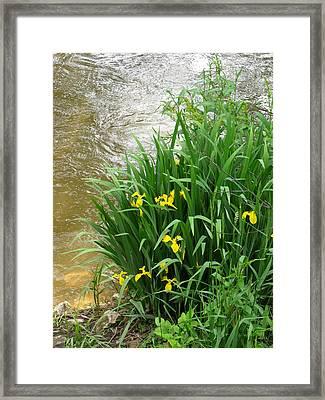 Yellow Iris Framed Print by Anna Villarreal Garbis