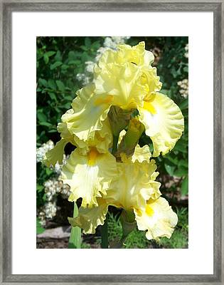 Yellow Iris At Fellows Riverside Garden Framed Print by Lois Mountz