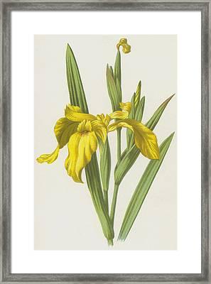 Yellow Iris Framed Print by Frederick Edward Hulme