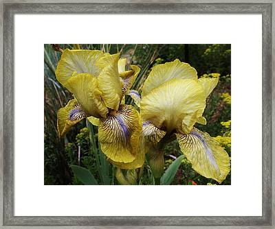 Yellow Irises Framed Print by Bruce Bley