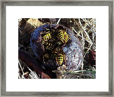 Yellow Jacket Feast Framed Print by Erica Hanel