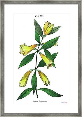 Yellow Jessamine Framed Print by Ziva
