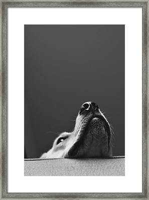 Yellow Lab In Thought Framed Print by Luke Pickard