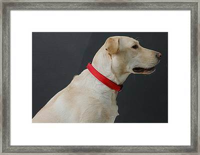 Yellow Lab Framed Print by Jerry McElroy