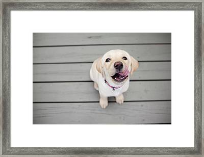 Yellow Lab Puppy Framed Print by Image by Erin Vey