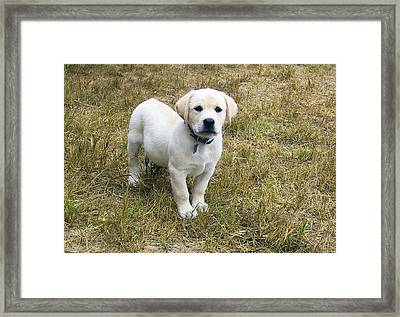 Yellow Labrador Puppy At Wanting To Play. Framed Print